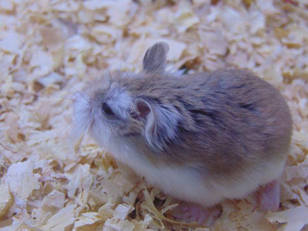 Hamster robo mặt nâu.jpg